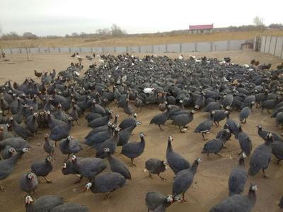 吉林四平双辽市灰色珍珠鸡 2-4斤