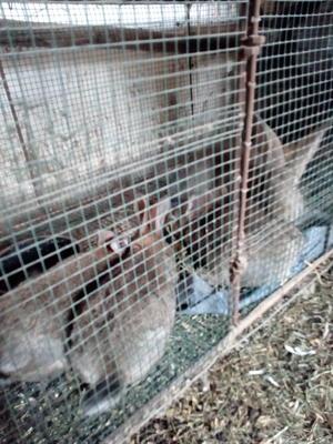 山东滨州邹平县肉兔 4.5斤