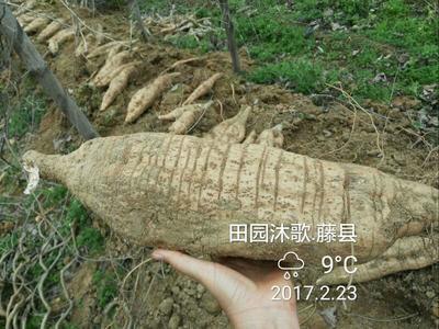 广西梧州藤县无渣粉葛 3.0-3.5斤
