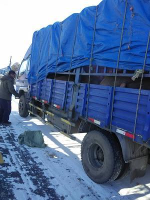 黑龙江牡丹江林口县特种野猪 160-200斤 统货