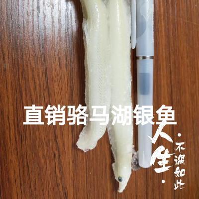 黑龙江大庆让胡路区骆马湖银鱼 野生