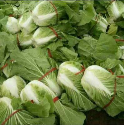 山东省潍坊市青州市菊锦大白菜 3~6斤 毛菜