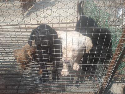 广西钦州灵山县边境牧羊犬