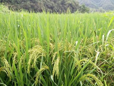 江西上饶婺源县山泉米 有机大米 中稻 一等品
