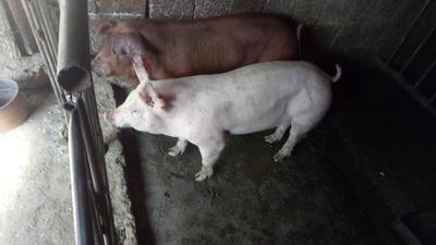 四川凉山盐源县杜洛克猪 60斤以上