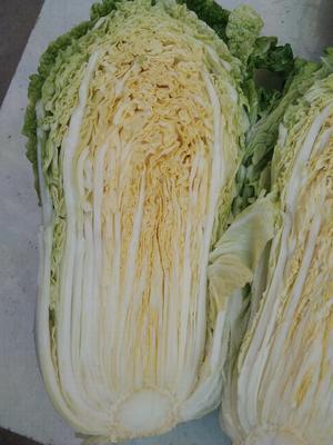 河南南阳邓州市黄心大白菜 3~6斤 净菜