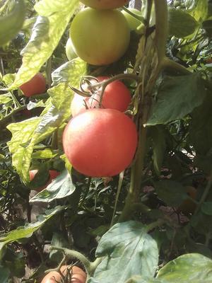 山东济南商河县硬粉番茄 不打冷 大红 弧三以上