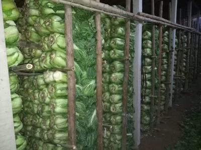 河北唐山滦南县北京新三号白菜 3~6斤 毛菜