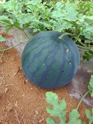 广西崇左扶绥县麒麟西瓜 有籽 1茬 7成熟 8斤打底