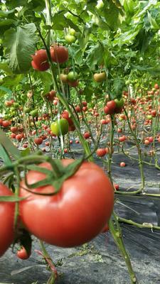 山东聊城高唐县硬粉番茄 不打冷 硬粉 通货