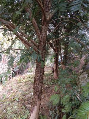 江西赣州崇义县南方红豆杉 2.0~2.5米