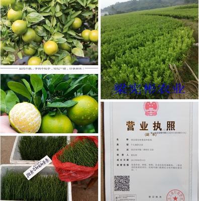 这是一张关于皇帝柑苗 嫁接苗 0.2米以下的产品图片