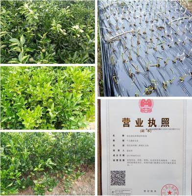 这是一张关于沃柑苗 嫁接苗 0.2~0.35米的产品图片