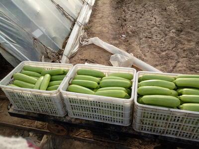 山东德州平原县冬悦绿盛西葫芦 0.6~0.8斤