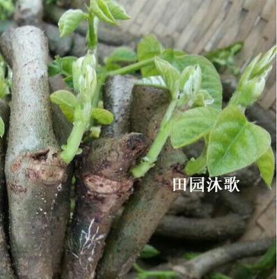 葛根种子 已培育发芽无渣粉葛苗