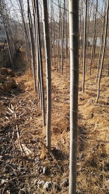 这是一张关于毛白杨的产品图片