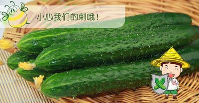 河南商丘夏邑县带刺黄瓜 18~22cm 鲜花带刺