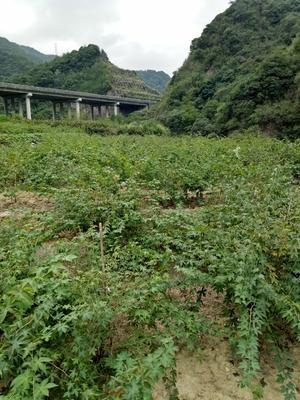 这是一张关于掌叶覆盆子苗的产品图片