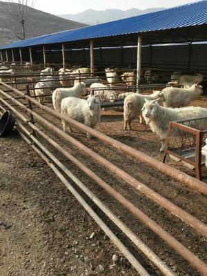 辽宁营口盖州市绒山羊 80-110斤