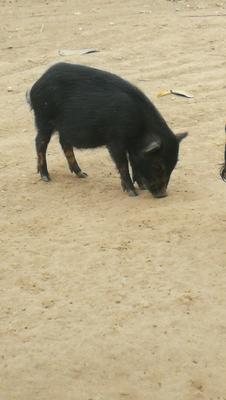 广西梧州苍梧县藏猪 80斤以上