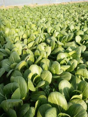 这是一张关于小青菜 10~15公分的产品图片