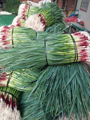 广西柳州柳江县仁东大蒜 2.2-2.5cm 多瓣蒜