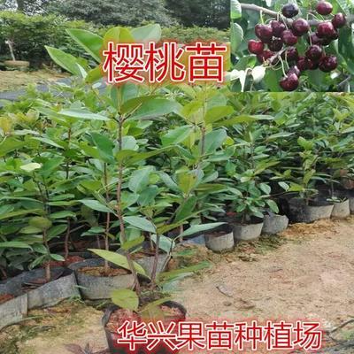 这是一张关于巴西甜樱桃苗的产品图片