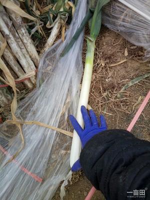 山东青岛莱西市日本大葱 2cm左右 30~40cm 毛葱