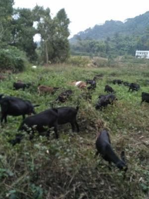 重庆江津黑山羊 50-80斤