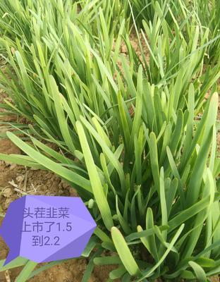 山西运城河津市大叶韭菜 头茬 20~30cm