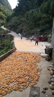 贵州黔西兴义市杂交玉米粒 霉变≤1% 净货