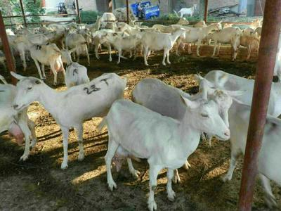 山东菏泽巨野县奶山羊 80-110斤
