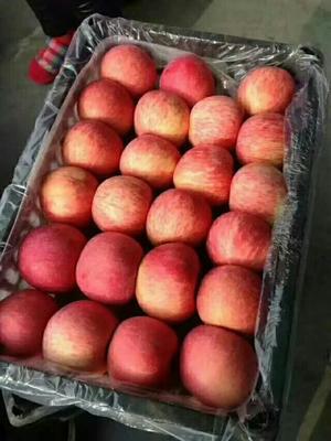 山东临沂沂水县红富士苹果 纸袋 表光 75mm以上