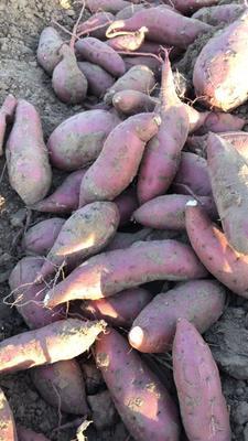 河南许昌禹州市商薯19号 红皮 1~3两