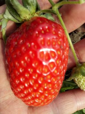 黑龙江绥化望奎县红颜草莓 20克以下