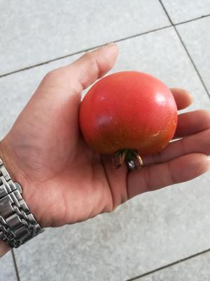 这是一张关于铁柿子 不打冷 大红 通货 的产品图片
