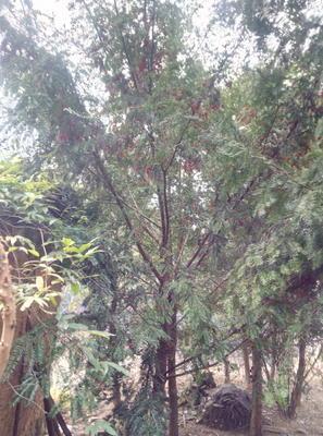 浙江丽水龙泉市南方红豆杉 3.5米~5米