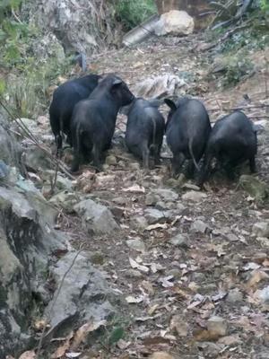 贵州黔东从江县黑猪 200-300斤