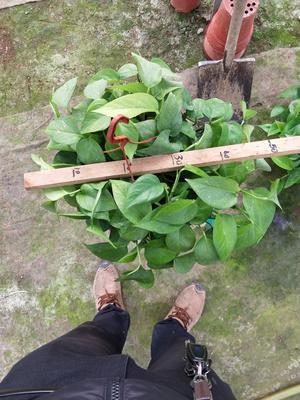 山东潍坊青州市绿萝吊兰 30~50cm