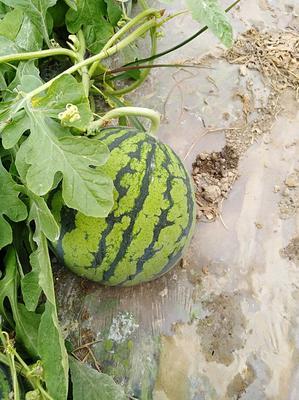 这是一张关于8424西瓜 无籽 1茬 9成熟 6斤打底的产品图片