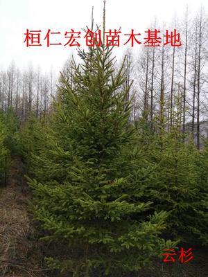 这是一张关于红皮云杉的产品图片