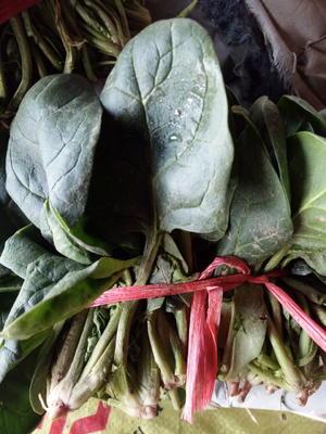山东滨州惠民县大叶菠菜 15~20cm