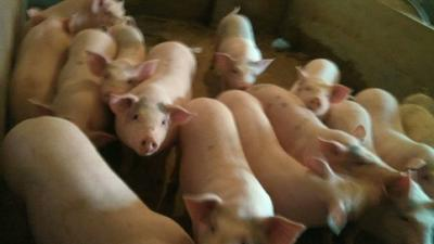 这是一张关于土猪苗的产品图片