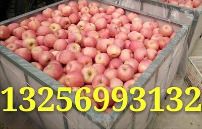 山东烟台莱阳市红富士苹果 纸袋 条红 75mm以上