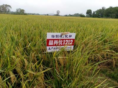 安徽安庆太湖县口口香大米 绿色食品 中稻 二等品