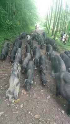这是一张关于黑土猪 160-200斤的产品图片