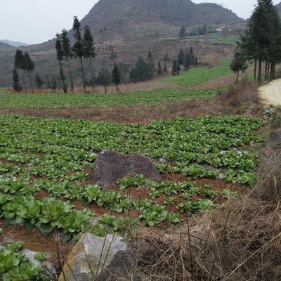 贵州安顺西秀区青杂三号白菜 2~3斤 净菜