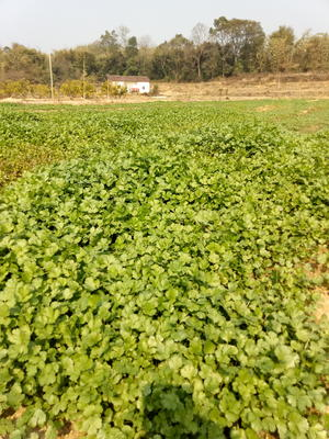 广东清远英德市大叶香菜 25~30cm