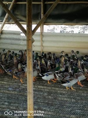 广东广州花都区绿头鸭 2-3斤