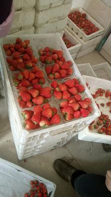 河北秦皇岛昌黎县九九草莓 30克以上
